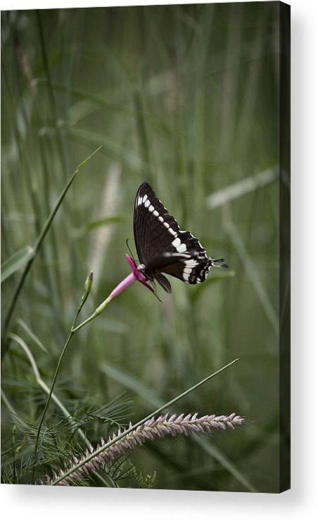 Butterfly Acrylic Print featuring the photograph Sweet Seduction by Douglas Barnard
