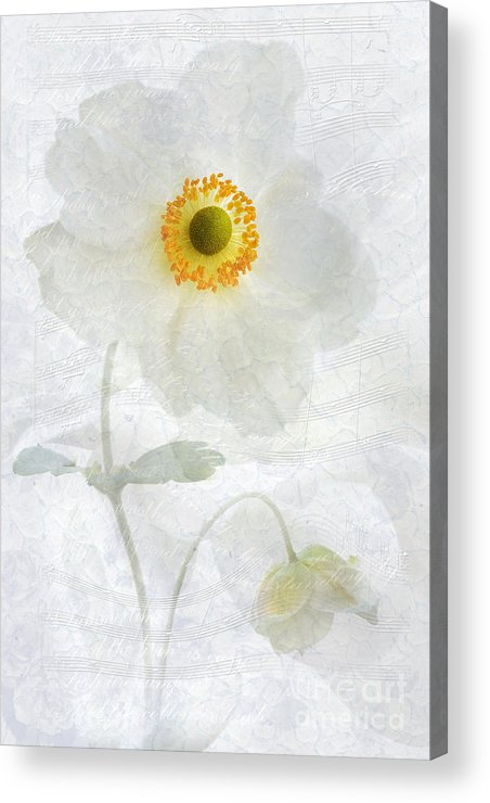 Anemone Hupehensis Acrylic Print featuring the photograph Symphony by John Edwards