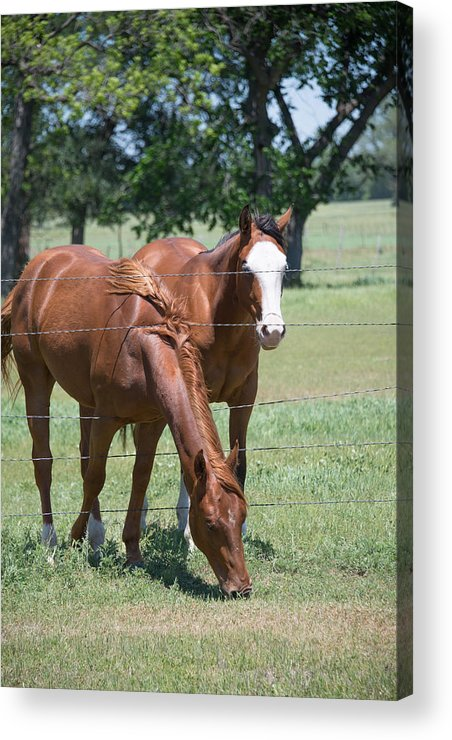 Horses Acrylic Print featuring the photograph The Grass Is Always Greener by David Jeffries