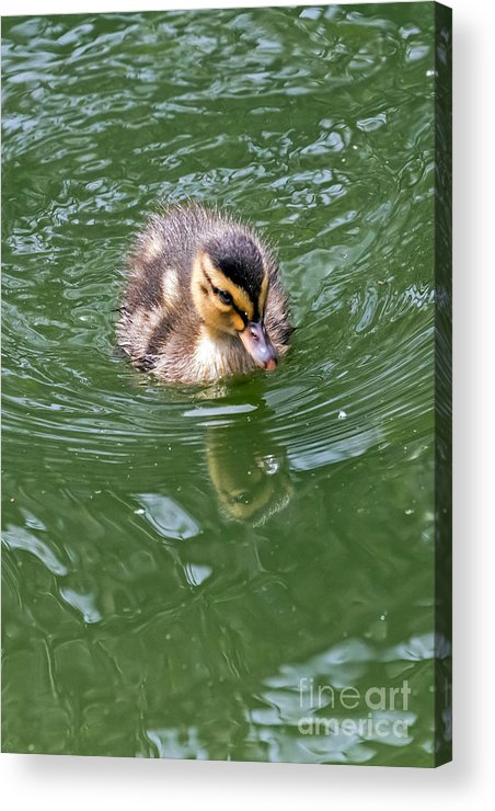 Anas Platyrhynchos Acrylic Print featuring the photograph Tiny Duckling by Kate Brown