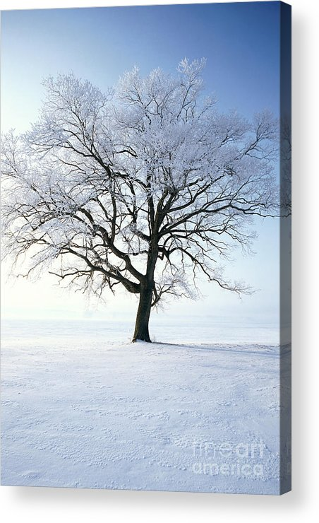 Plant Acrylic Print featuring the photograph Tree Covered In Hoar Frost by David Davis