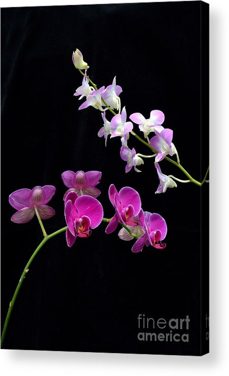 Flower Acrylic Print featuring the photograph Two Kind Of Orchid Flower by Antoni Halim
