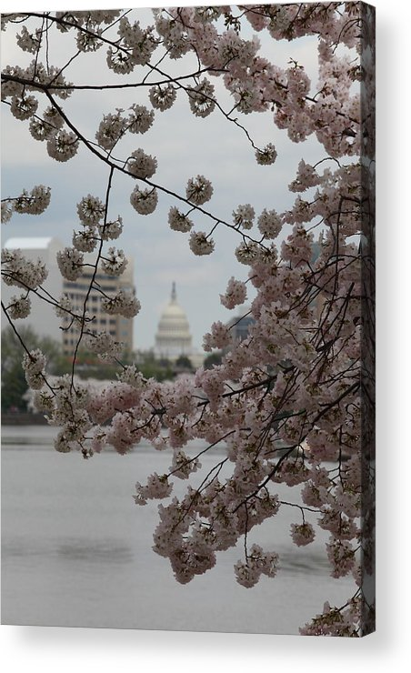 Attraction Acrylic Print featuring the photograph Us Capitol - Cherry Blossoms - Washington Dc - 01132 by DC Photographer