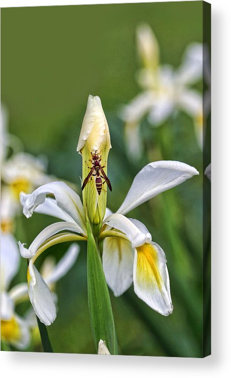 Floral Acrylic Print featuring the photograph Wasp On White Iris by Linda Phelps