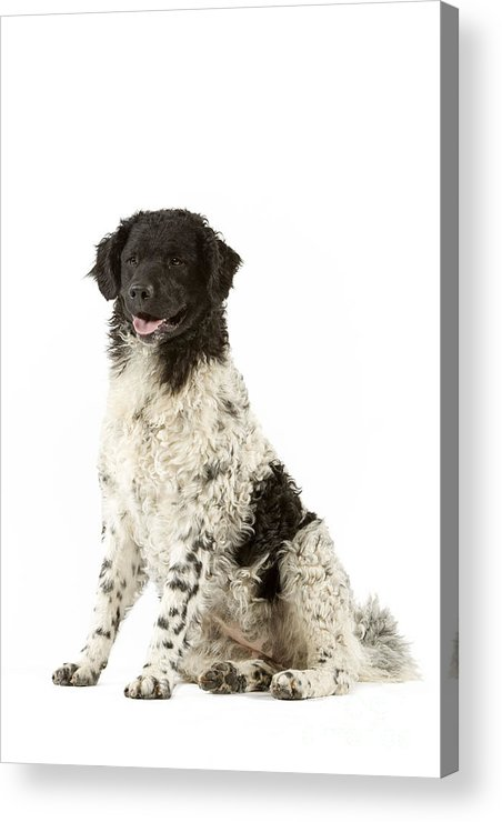 Water Dog Acrylic Print featuring the photograph Water Dog by Jean-Michel Labat