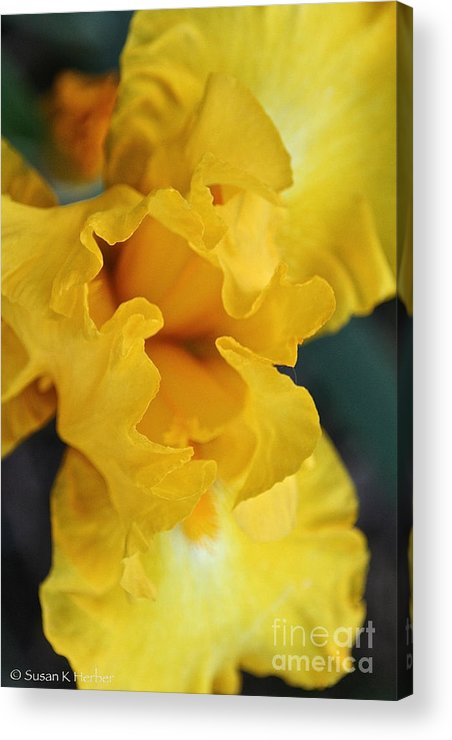 Flower Acrylic Print featuring the photograph Welcoming The Sun by Susan Herber