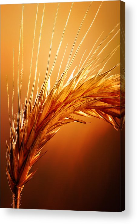 Wheat Acrylic Print featuring the photograph Wheat Close-up by Johan Swanepoel