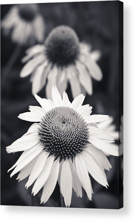 3scape Photos Acrylic Print featuring the photograph White Echinacea Flower Or Coneflower by Adam Romanowicz