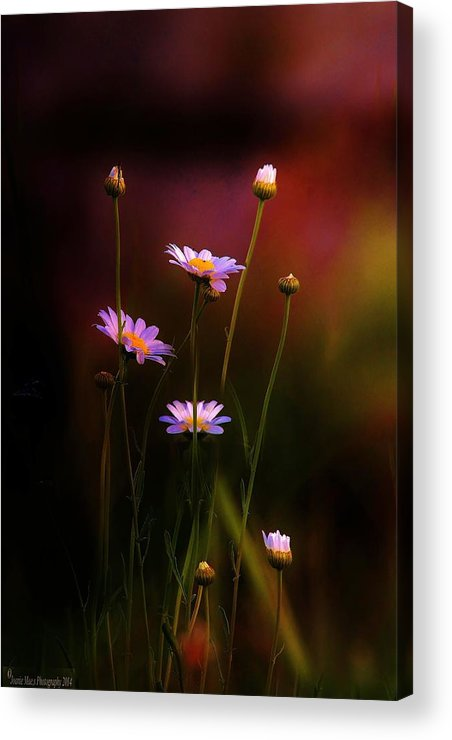Flowers Landscapes Daisy Acrylic Print featuring the photograph Wild Daisy Flowers by Joanie Leport