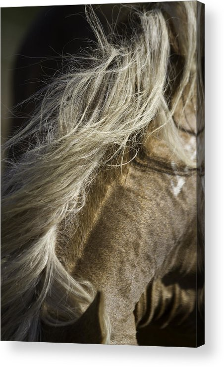 : Mustang Photographs Photographs Acrylic Print featuring the photograph Wild Horse Mane Sutter by Meg Frederick