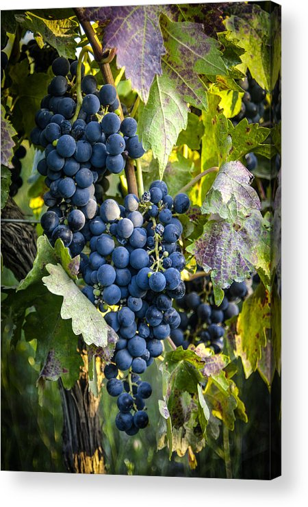 Grapes Acrylic Print featuring the photograph Wine Grapes by Tetyana Kokhanets