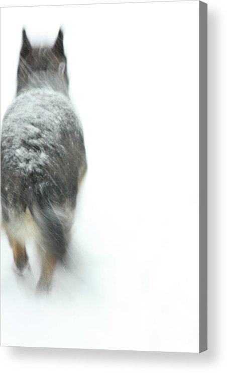 Dog Acrylic Print featuring the photograph Winter Traveler by Karol Livote