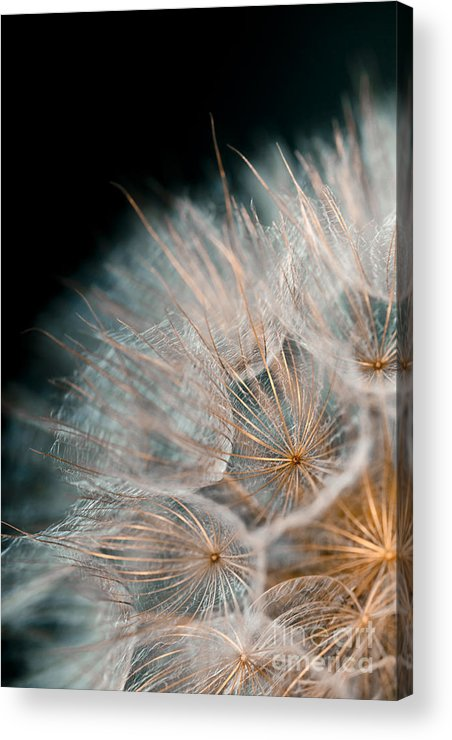 Seed Head Acrylic Print featuring the photograph Wishing For Tomorrow by Jan Bickerton