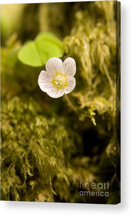 Wood Sorrel Acrylic Print featuring the photograph Wood Sorrel by Liz Leyden
