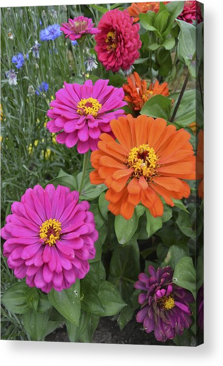 Flower Acrylic Print featuring the photograph Zinnia Garden by William Hallett