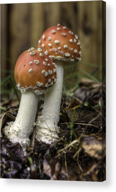 Alaska Acrylic Print featuring the photograph Amanita  by Grover Woessner