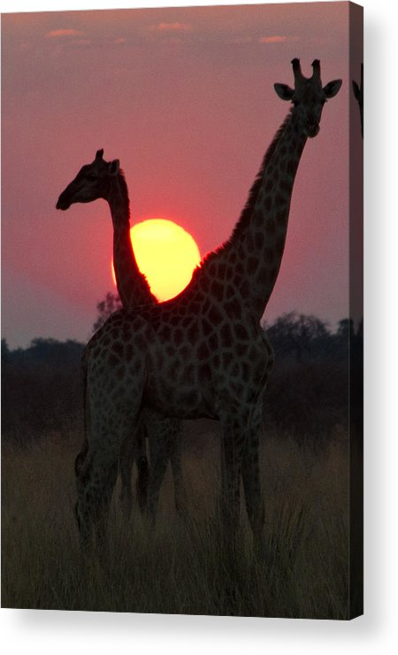 Giraffe Acrylic Print featuring the photograph Botswana Sunset by John Klingel