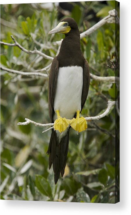 Photography Acrylic Print featuring the photograph Brown Booby, Sula Leucogaster by Tim Laman