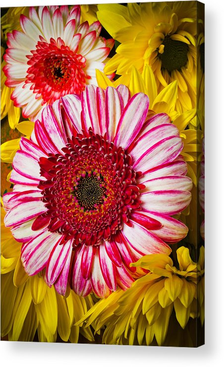 Pink Acrylic Print featuring the photograph Pink And Yellow Mums by Garry Gay