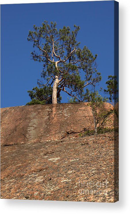 Granite Bedrock Acrylic Print featuring the photograph Red Pine Tree by Ted Kinsman