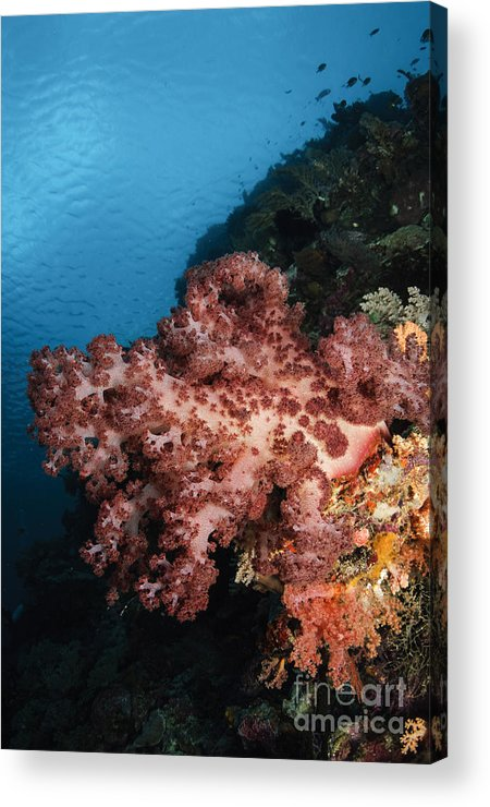 Ocean Acrylic Print featuring the photograph Soft Coral Seascape, Indonesia by Todd Winner