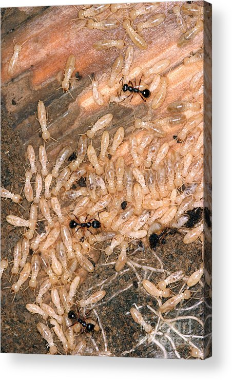 Animal Acrylic Print featuring the photograph Termite Nest Reticulitermes Flavipes by Ted Kinsman