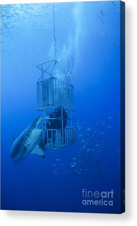 Carcharodon Carcharias Acrylic Print featuring the photograph Great White Shark And Divers, Guadalupe by Todd Winner