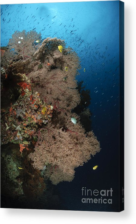 Sea Life Acrylic Print featuring the photograph Sea Fans, Fiji by Todd Winner