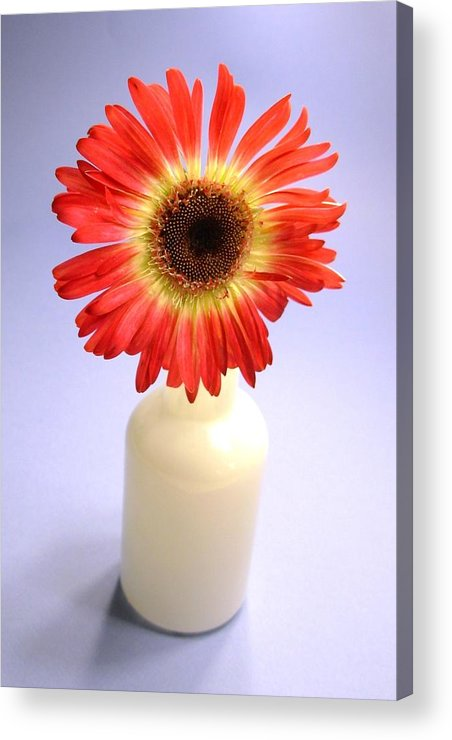 Gerbera Photographs Acrylic Print featuring the photograph 2216c1-003 by Kimberlie Gerner
