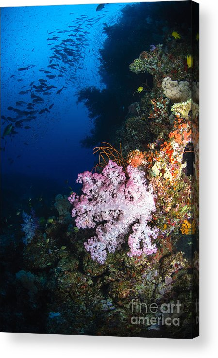 Fish Acrylic Print featuring the photograph Soft Coral Seascape, Fiji by Todd Winner