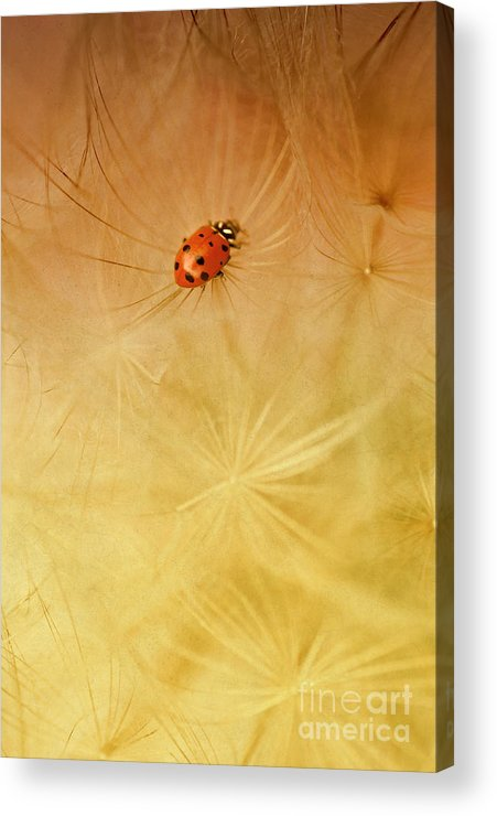 Insect Acrylic Print featuring the photograph Dandelions by Iris Greenwell
