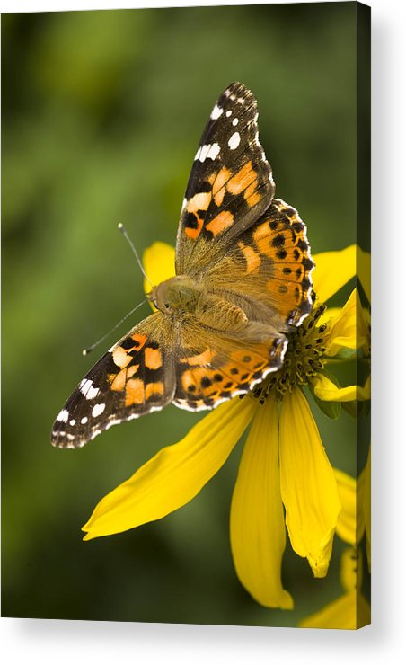 Jemez Mountains Acrylic Print featuring the photograph A Butterfly Sits Atop A Yellow by Ralph Lee Hopkins