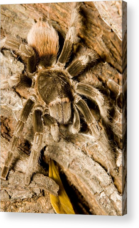 Closeups Acrylic Print featuring the photograph A Tarantula Living In Mangrove Forest by Tim Laman