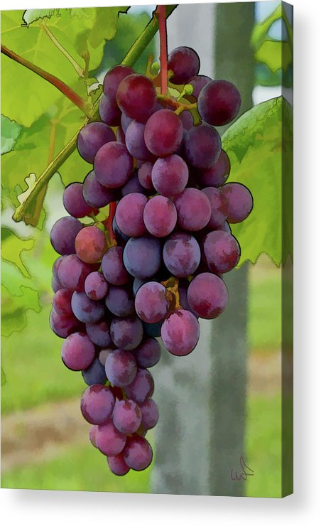 Grapes Acrylic Print featuring the photograph August Grapes by Michael Flood