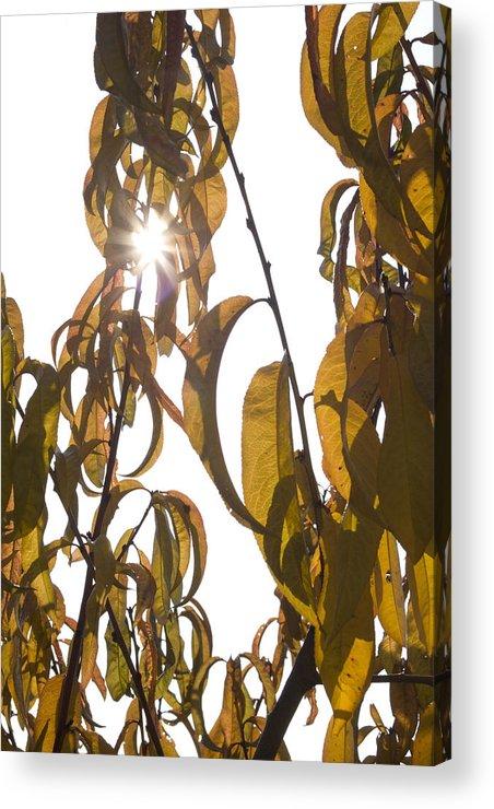 Autumn Acrylic Print featuring the photograph Autumn Sunburst by Ian Middleton