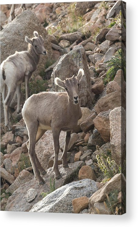 Bighorn Sheep Acrylic Print featuring the photograph Big Horn Lambs by Nathan Mccreery