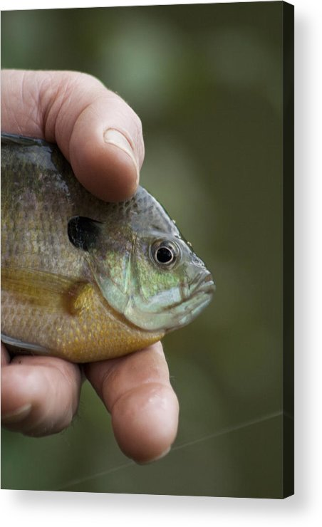 Centrarchidae Acrylic Print featuring the photograph Big Man Hand - Little Crappie by Kathy Clark
