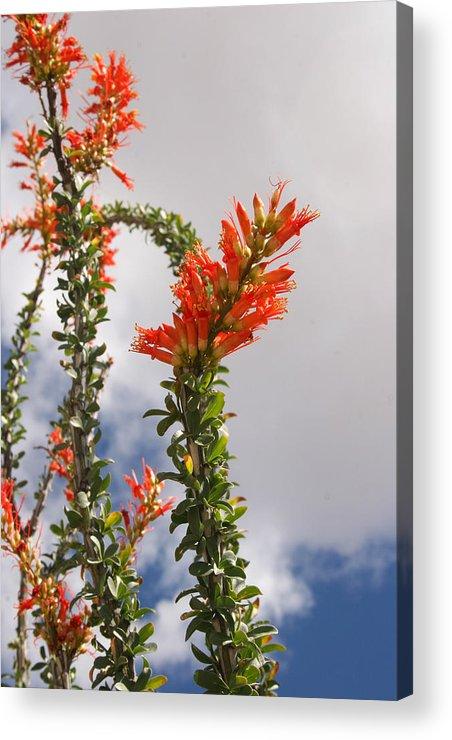 Cactus Acrylic Print featuring the photograph Blooming Ocotillo by Dina Calvarese