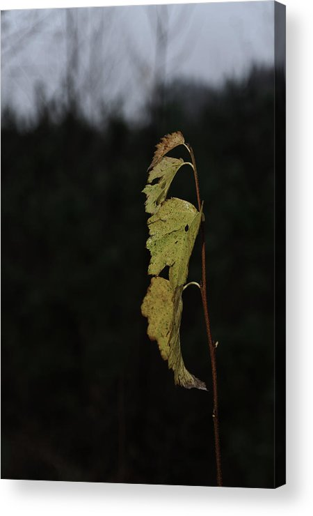Autumn Acrylic Print featuring the photograph Branch Of Maple by Michael Goyberg