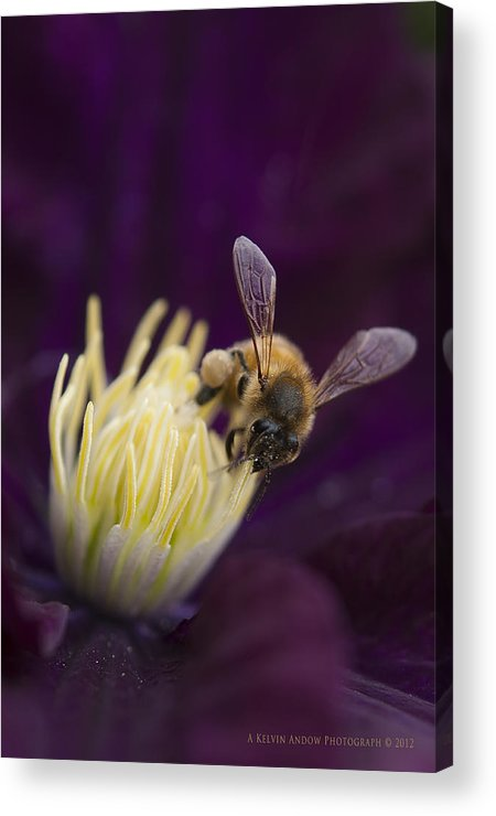 Flower Acrylic Print featuring the photograph Busy Bee by Kelvin Andow