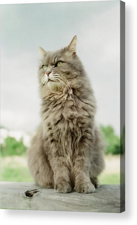 Vertical Acrylic Print featuring the photograph Cat Sitting by to Photograph Is To Love - Keico