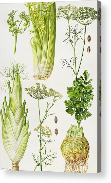 Seed; Root; Tuber; Botanical; Seeds; Roots; Tubers; Vegetable; Vegetables; Leaf; Leafs; Leafy; Fennel; Dill; Celeriac; Celery Acrylic Print featuring the painting Celery - Fennel - Dill And Celeriac by Elizabeth Rice