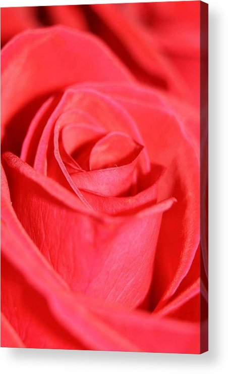 Rose Acrylic Print featuring the photograph Close-up Rose by Kauwela Kaia