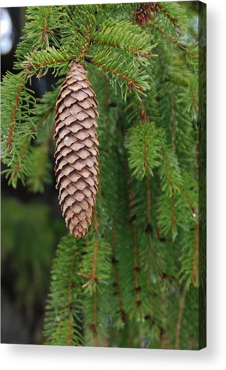Tree Acrylic Print featuring the photograph Cone by Guy Whiteley