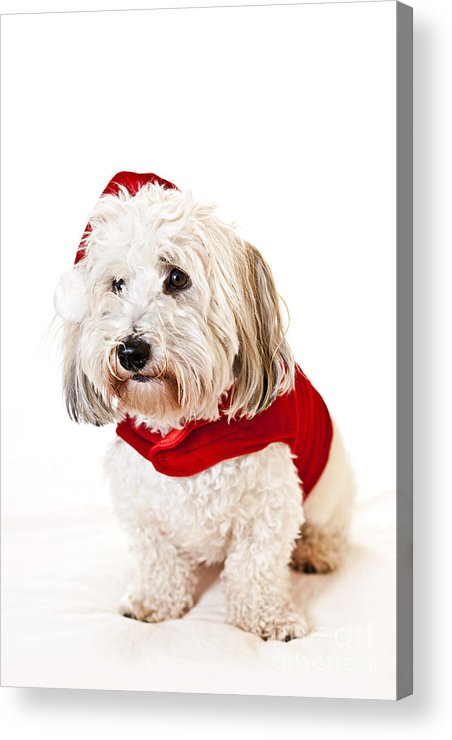 Dog Acrylic Print featuring the photograph Cute Dog In Santa Outfit by Elena Elisseeva