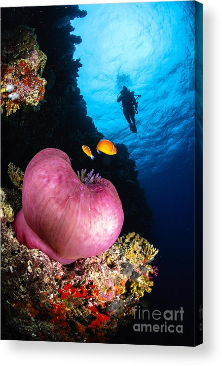 Diver Acrylic Print featuring the photograph Diver And Magnificent Anemone, Fiji by Todd Winner