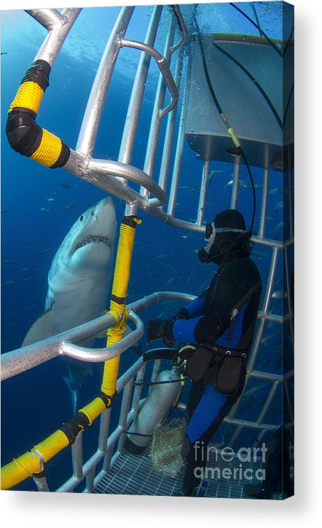 Carcharodon Carcharias Acrylic Print featuring the photograph Diver Observes A Male Great White Shark by Todd Winner
