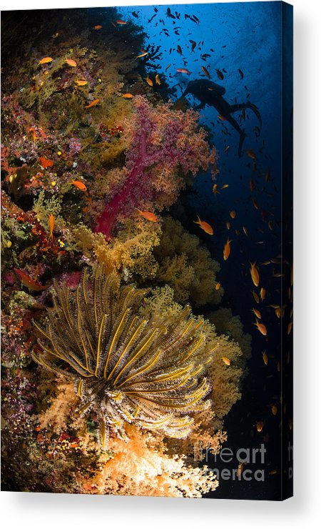 Crinoid Acrylic Print featuring the photograph Diver Swims By Soft Corals And Crinoid by Todd Winner