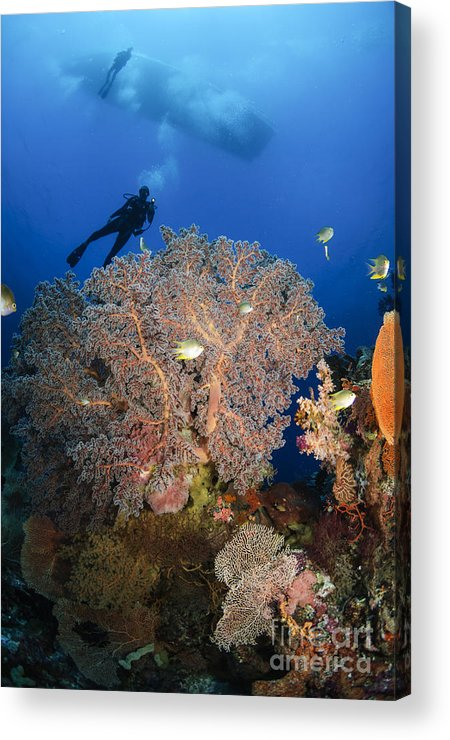 Diver Acrylic Print featuring the photograph Diver Swims Over Sea Fans, Indonesia by Todd Winner