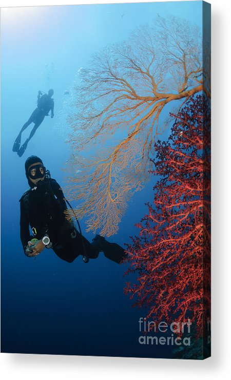 Diver Acrylic Print featuring the photograph Divers Swimming By Sea Fans, Indonesia by Todd Winner